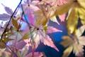 Картинка листья, осень, клен