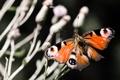 Картинка насекомые, природа, бабочка, растение, павлиний глаз