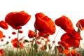 Картинка белый, фон, маки, красные, бутоны, алые, цветки