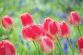 Картинка цветы, природа, яркие, весна, тюльпаны, розовые, бутоны