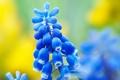 Картинка цветок, цветы, природа, весна, синие, мускари