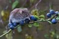Картинка ягоды, ветка, мышь, зверек, грызун, полевка