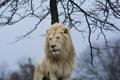 Картинка морда, поза, хищник, грива, дикая кошка, красавец, белый лев
