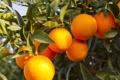 Картинка tree, fruit, orange, oranges