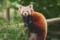 Картинка ветки, листва, бамбук, красная панда, Firefox