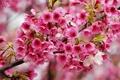 Картинка макро, вишня, ветка, весна, цветение