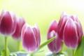 Картинка цветы, фон, тюльпаны, розовые