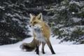 Картинка зима, снег, лиса, охота