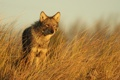 Картинка природа, фон, Eastern Coyote