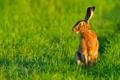 Картинка трава, роса, заяц, утро