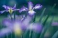 Картинка макро, цветы, фиолетовые, ирисы