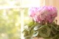 Картинка листья, цветы, розовые, Цикламены