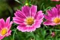 Картинка растение, сад, природа, луг, лепестки, цветы