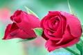 Картинка листья, цветы, розы, бутоны