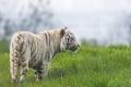 Картинка кошка, трава, белый тигр, ©Tambako The Jaguar