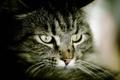Картинка кот, взгляд, серый, полосатый