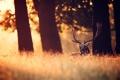 Картинка лес, природа, олень, утро