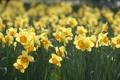 Картинка поляна, весна, желтые, нарциссы, макро, цветы