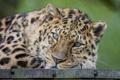 Картинка взгляд, хищник, Амурский леопард