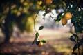 Картинка nature, Bokeh, Lemon