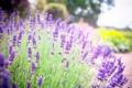 Картинка лето, цветы, природа, сиреневые, Лаванда