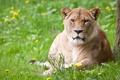 Картинка кошка, лето, трава, одуванчики, львица