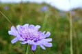 Картинка цветок, сиреневый, лето, поле, зелень, Цикорий