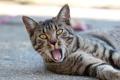 Картинка язык, кошка, асфальт, лежит, зевает