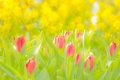 Картинка поле, лето, свет, тюльпаны