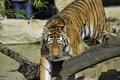 Картинка кошка, тигр, коряга, амурский