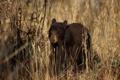 Картинка природа, фон, Black Bear