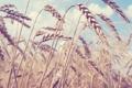Картинка поле, пейзаж, природа, румыния, пшеница. лето