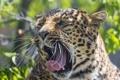 Картинка кошка, морда, пасть, леопард, зевает, ©Tambako The Jaguar