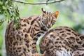 Картинка кошка, взгляд, оцелот, ©Tambako The Jaguar