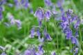 Картинка цветы, полевые, сиренивые