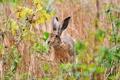 Картинка поле, лето, природа, заяц