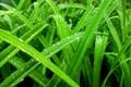 Картинка зелень, трава, роса, Макро