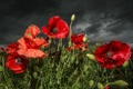 Картинка цветы, природа, маки