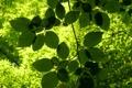 Картинка зелень, лето, солнце, свет, ветка, листики, сочная