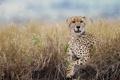 Картинка дикая кошка, гепард, трава