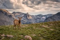 Картинка трава, облака, горы, вершины, пастбище, лось, плато