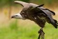 Картинка природа, птица, гриф