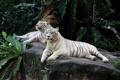Картинка животные, пара, тигры
