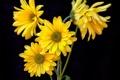 Картинка желтые, черный фон, лепестки, ромашки, цветы