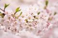 Картинка цветы, розовая, нежность, ветка, весна, лепестки, размытость