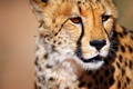 Картинка гепард, South Africa, Южная Африка, Cheetah, wild animal, Калахари, Kalahari desert