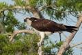 Картинка птица, Скопа, дерево