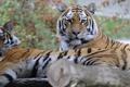 Картинка отдых, парочка, тигры