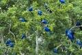 Картинка листья, попугай, большой синий ара, деревья, Пантанал, Бразилия