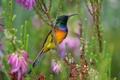 Картинка птица, нектарница, разноцветная, цветы